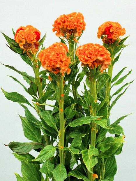 オレンジクィーン_2007