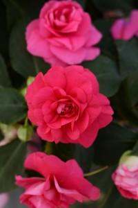 IMP_FiestaGrande_Rose_UP