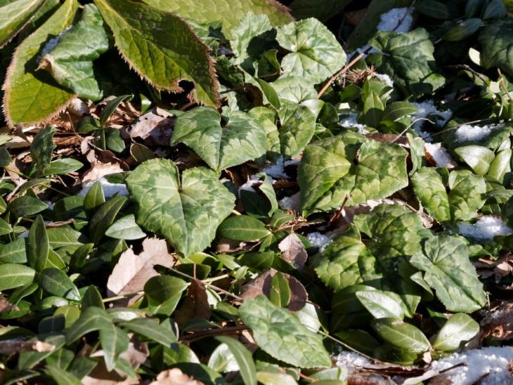 ヘデリフォリウムの葉