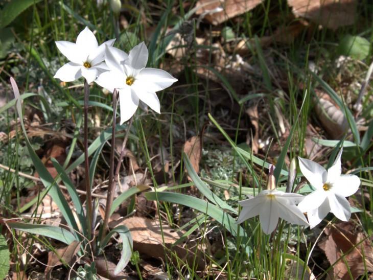 イフェイオン白花