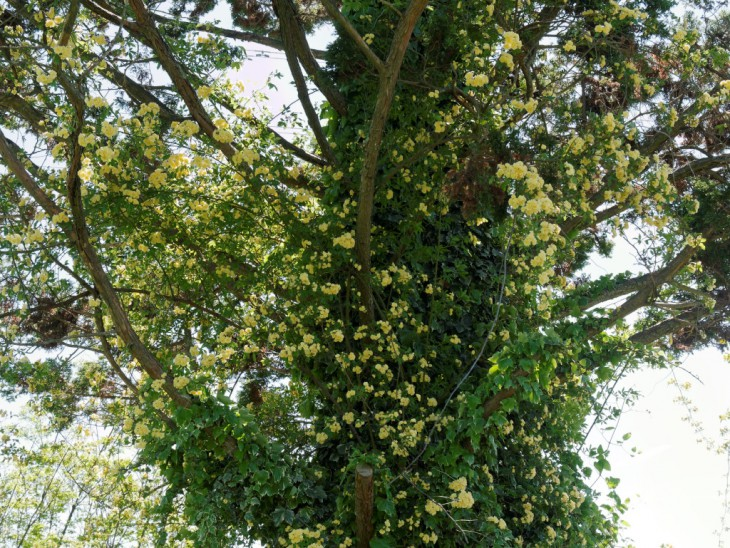 八重咲き黄モッコウバラ