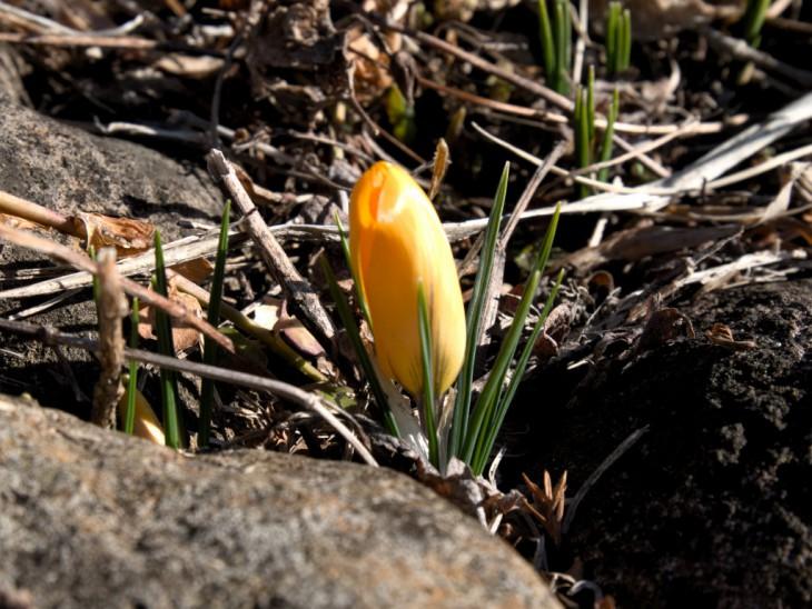 早咲きクロッカスのつぼみ