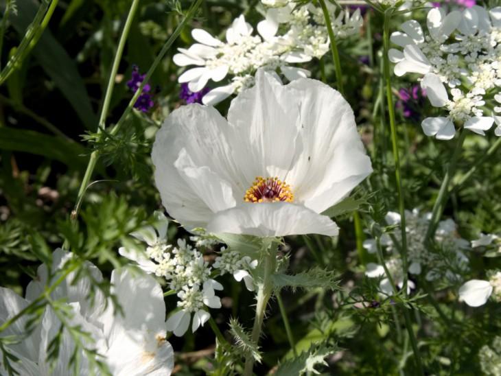 白花アザミゲシ