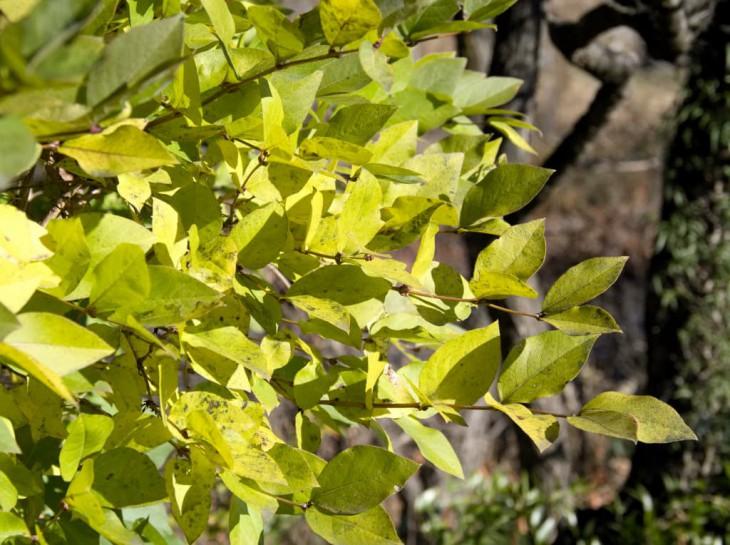 ロニセラの黄葉
