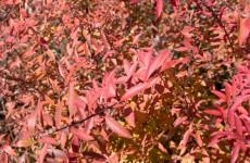 雪柳の紅葉