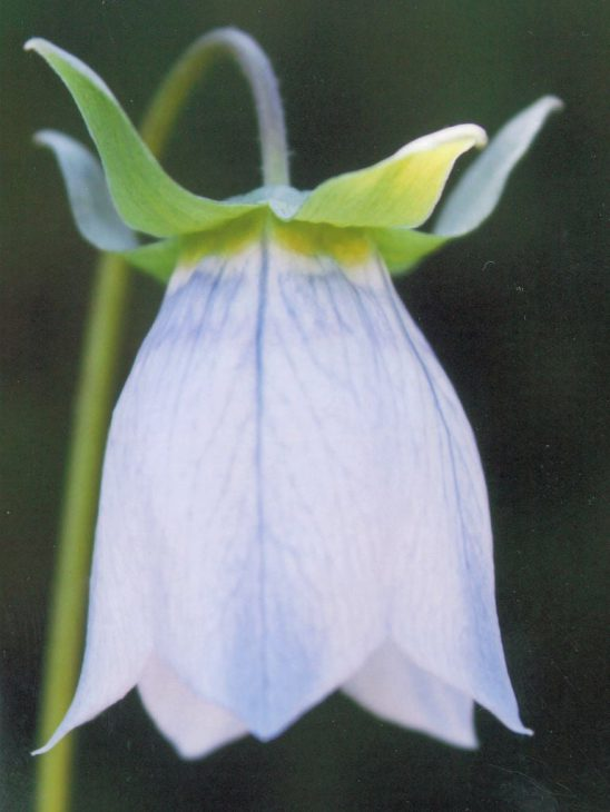 コドノプシス・クレマチデアの花