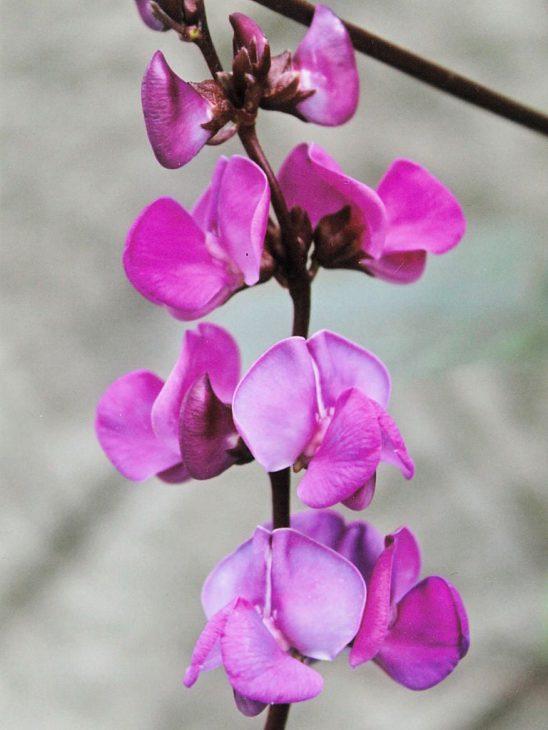 ドリコスの花