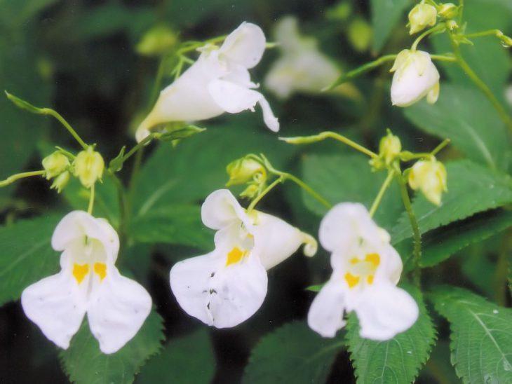 ツリフネソウ白花