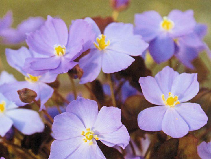 タツタソウの花