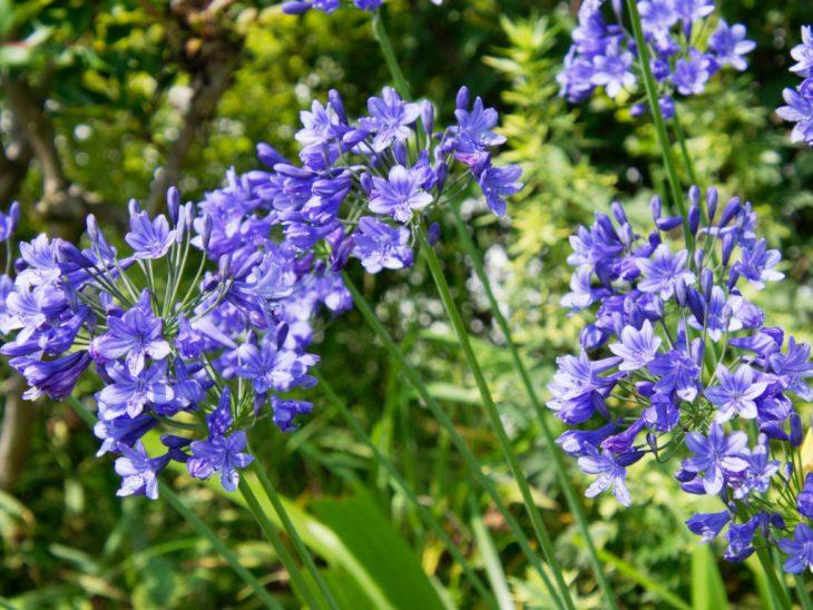 アガパンサス・ブルーの花