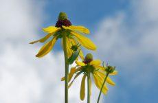 青空を背景にルドベキア・マキシマの花