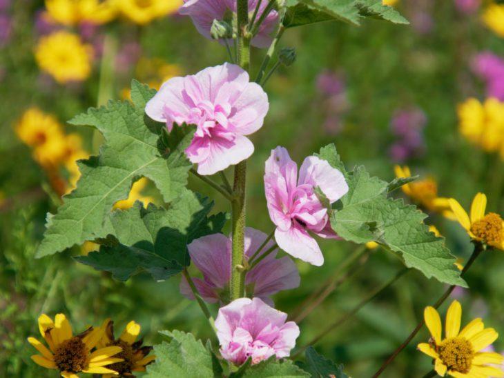 八重咲きのピンク色のタチアオイの花