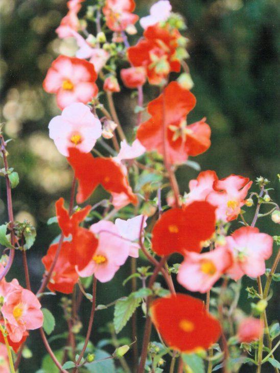 アロンソアの花・サーモンピンクやバイカラーなど
