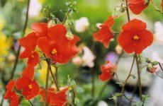 アロンソアの花・スカーレット