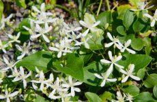 センニンソウの白い花が咲いている