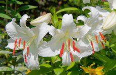 大輪の白花ユリ、カサブランカ