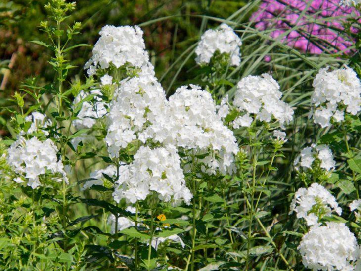 宿根フロックス、フジヤマの花