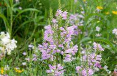 ハナトラノオ(カクトラノオ)のピンクの花