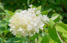 ノリウツギの白い花のアップ
