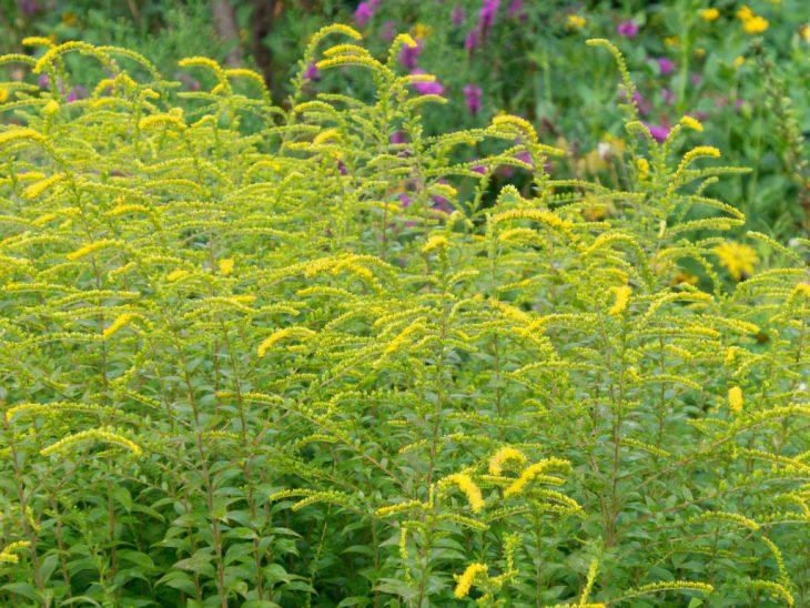 ソリダゴ・ファイヤーワークスの花