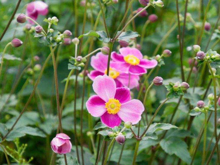 シュウメイギク・ダイアナの花