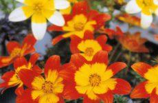 ビデンスのいろいろな花