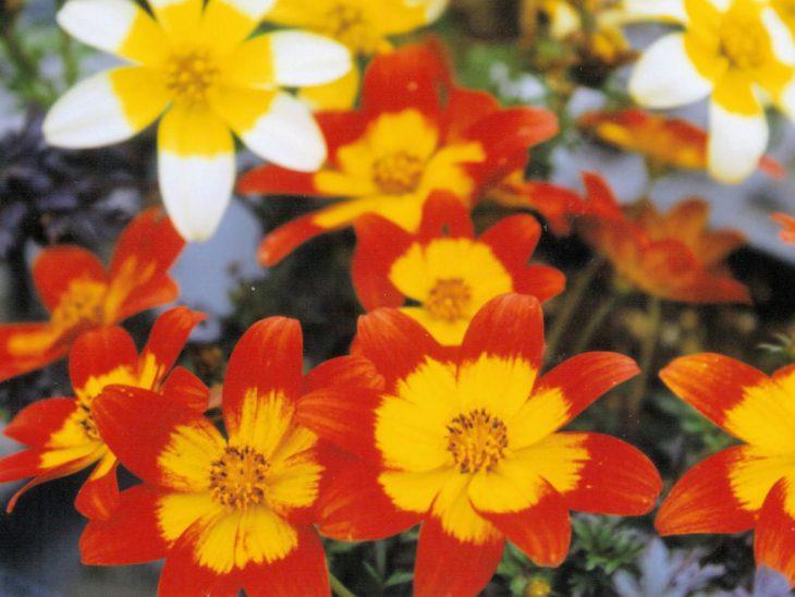 いろいろなビデンスの花