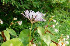 リコリス・インカルナータの花と秋海棠