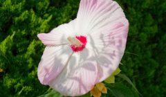ピンクのグラデーションが美しいアメリカフヨウ
