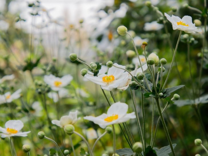 白一重咲きの秋明菊が咲いている