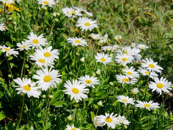 純白のハマギクの花が咲いている