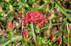 ヒガンバナの赤い花