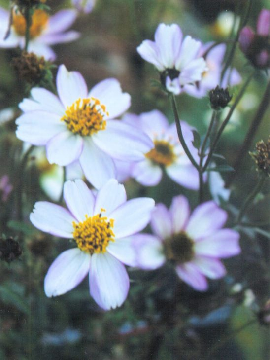 ビデンスの白花