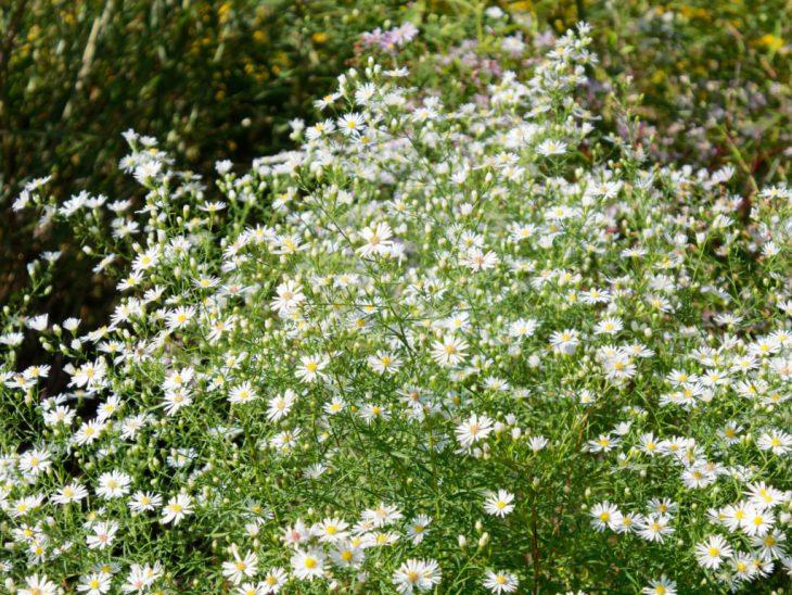 白孔雀(クジャクアスター)の白い花が咲いている状態