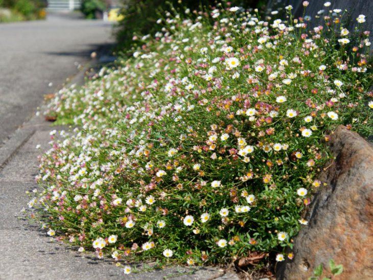 源平小菊の花
