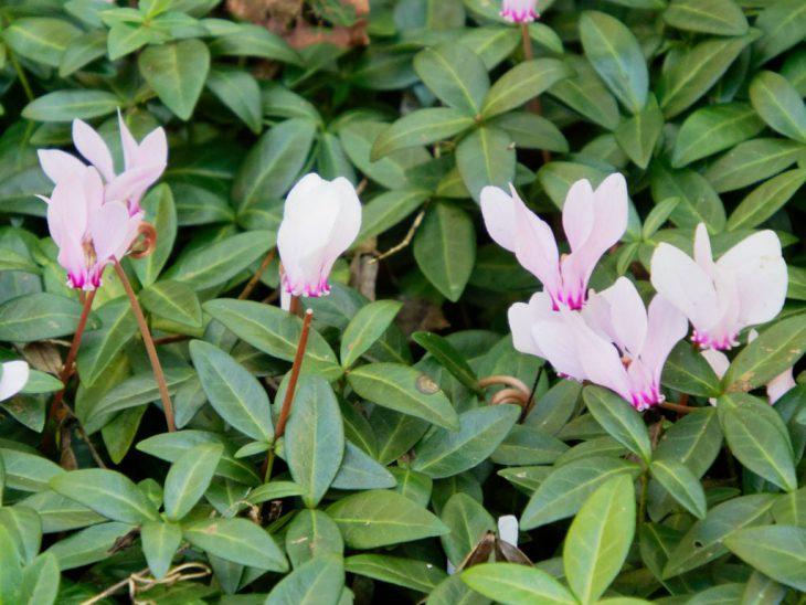 シクラメン・ヘデリフォリウムの花