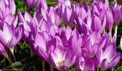 コルチカムの花が群れて咲いている