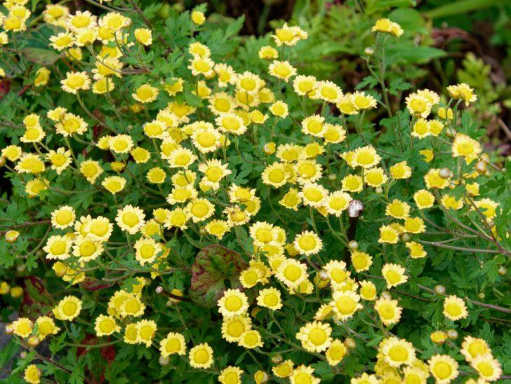 ハナイソギクらしき野菊の花
