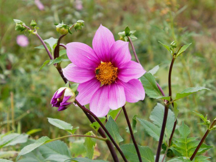 皇帝ダリアハイブリッド、ガッツァリア・ピンクの花