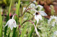 アシダンテラの花