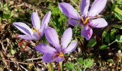 サフランの花が3つ並んで咲いている