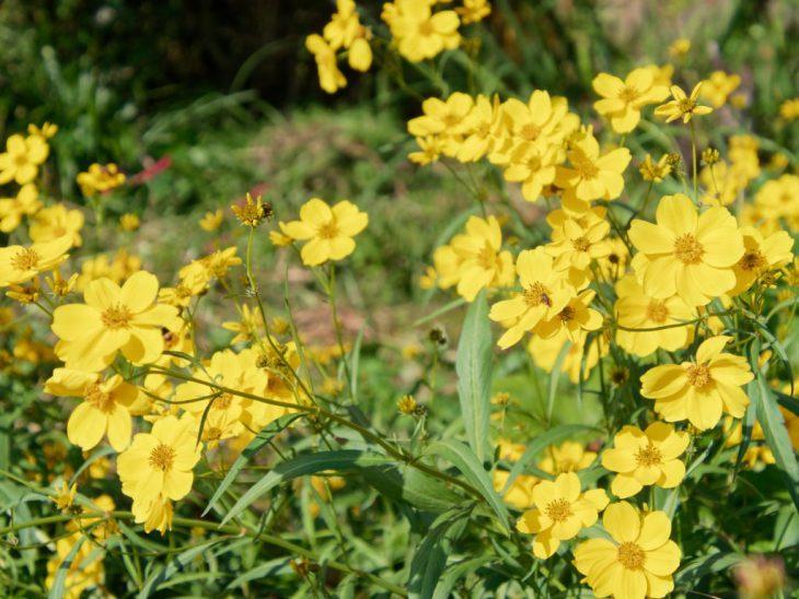 ビデンス・ラエビス(ウィンターコスモス)の花