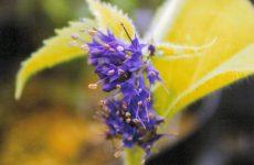 スズカケソウの花
