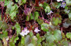 晩秋に咲いたツタバウンランの花