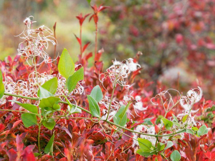 ドウダンツツジの紅葉とセンニンソウの種子