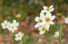 白花のウィンターコスモス