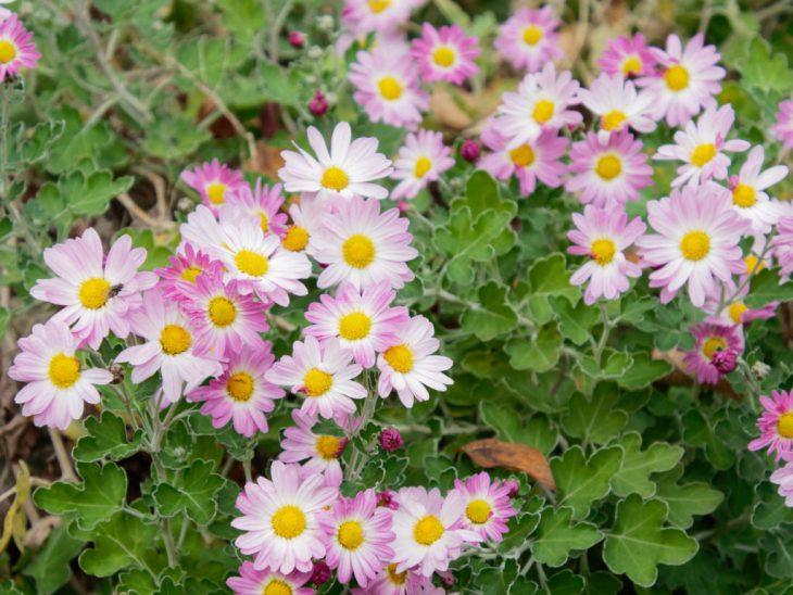 アカバナサツマノギクの花
