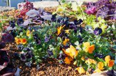 ビオラなど冬を飾る花
