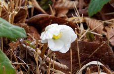 クリスマスローズ・ニゲルの花