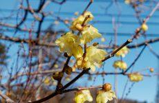 素心ロウバイの花